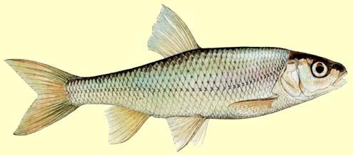ЕЛЕЦ (Leuciscus leuciscus) представлен основной формой - европейским...